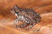 Juvenile Cane Toad, Bufo marinus, Panama, Central America, Barro Colorado Island, on leaf on forest floor