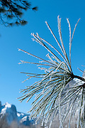 Pine needles covered with frost in Yosemite National Park.