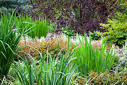 Foliage of astilbes and iris