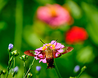 Hummingbird Clearwing  (Hemaris thysbe) moth on a Zinnia flower. Image taken with a Fuji X-T2 camera and 100-400 mm OIS lens