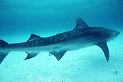 female tiger shark, Galeocerdo cuvier, with mating scars from bites of male during mating attempts, Bahamas ( Western Atlantic Ocean )