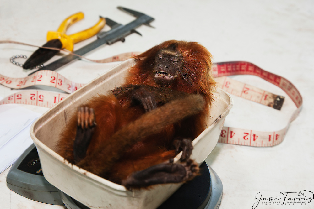 A research biologist measures, weighs and physically inspects  a tranquilized golden lion tamarin in the lab  (Leontopithecus rosalia) ,Brasil, South America