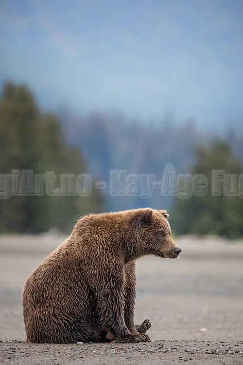 Sitting brown bear at Silver Salmon Creek, Alaska | Brunbjørn som sitter på stranden i Alaska.