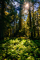Sunlight shines through the trees and ferns at Trail of the Cedars Nature Trail in Glacier National Park, Montana.