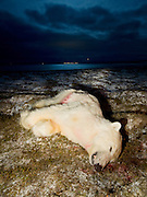 This polar bear was shot near Þórshöfn in Iceland in january 2010. In the distance is the town.