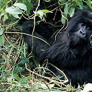 Mountain Gorilla, (Gorilla gorilla beringei) Female foraging. Volcanoes National Park.Rwanda. Africa.