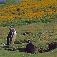 Magellenic Penguins (Spheniscus magellanicus) stand beside their burrows, in front of flowering Gorse bushes on Carcass Island in the Falkland Islands.