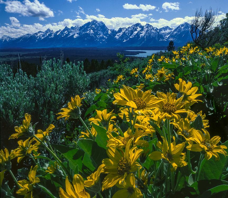The Teton Range and balsamroot wildflowers, June, Grand Teton National Park, Wyoming, US