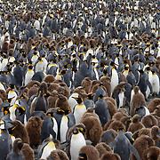 King penguin colony, South Georgia.