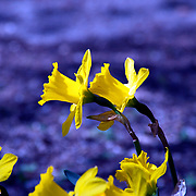 A bed of yellow daffodils. Photo by Adel B. Korkor.