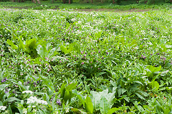 Gewone smeerwortel, Symphytum officinale