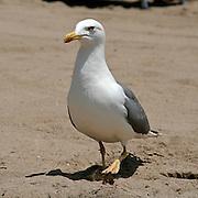 Un gabbiano su una spiaggia dell'Isola d'Elba..A seagull on a beach of the Elba island.