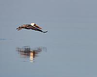 Brown Pelican (Pelecanus occidentalis). Fort De Soto Park. Pinellas County, Florida. Image taken with a Nikon D4 camera and 500 mm f/4 VR lens.