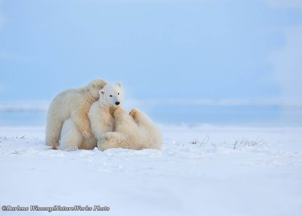 Three polar bear cubs of the year play and wrestle along the shores of arctic Alaska, Kaktovik, Barter Island