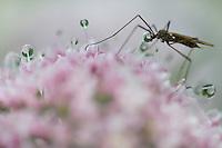 Mosquito spec., Malbun, Lichtenstein