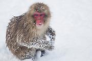 A sub-adult snow monkey sitting in the snow, (Macaca fuscata)   , Jigokudani, Yamanouchi, Japan