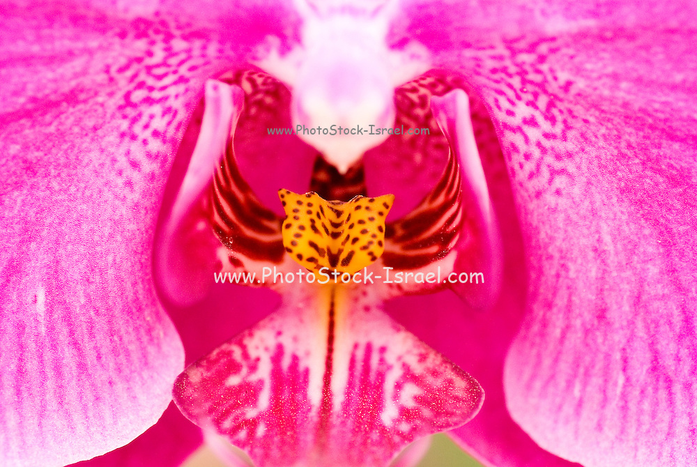 extreme close up Purple Orchid