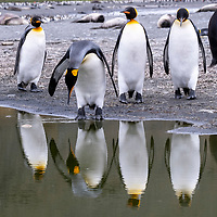 King penguins are reflected in a pond at Saint Andrews Bay on the north coast of South Georgia Island.