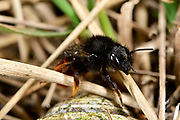 Two-coloured mason-bee (Osmia bicolor), the bee is building its nests in a empty snail shell. The bee provisions the snail shell with chewed balls of pollen and nectar and seals it with a layer of debris. | Zweifarbige Schneckenhausbiene (Osmia bicolor)  tarnt das Gehäuse mit Grashalmen. Zweifarbige Schneckenhaus-Mauerbiene, Zweifarbige Schneckenhausbiene, Zweifarbige Mauerbiene, an Schneckengehäuse, Schneckenhaus, transportiert Halme, Osmia bicolor, Mauerbienen, Mason bee, Mason bees