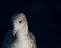 I was trying to figure out how to take a more unique photograph of a seagull.  Arriving before sunrise, I waited until a single gull had separated from the flock and captured this portrait-like image as the sun rose over a sand dune at Moss Landing, California.