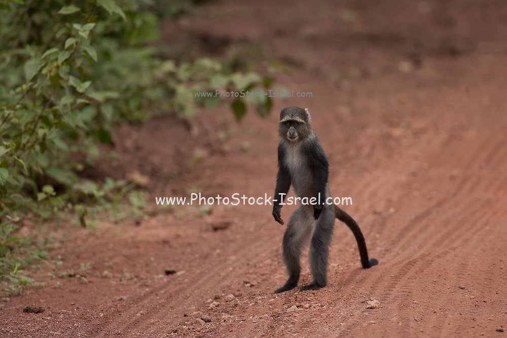 Blue monkey, or samango monkey, (Cercopithecus mitis) standing upright. This monkey lives in troops, deferring to a dominant male (seen here). This primate is quiet and shy, living in the treetops of tropical African forests. It feeds on fruit, leaves and arthropods. Photographed in Tanzania