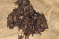 Colony of Lesser Mouse-eared Bat in caves on Bagerova Steppe, Kerch Peninsula, Crimea, Ukraine