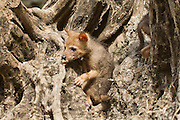 Cubs of a Golden Jackal (Canis aureus), also called the Asiatic, Oriental or Common Jackal in a den in an olive tree, Photographed in Hula valley, Israel