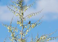 Male black-tailed trainbearer hummingbird, Lesbia victoriae, perched in a yucca at Jerusalem Park, Ecuador