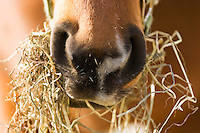 JHorse with mounthful of hay.