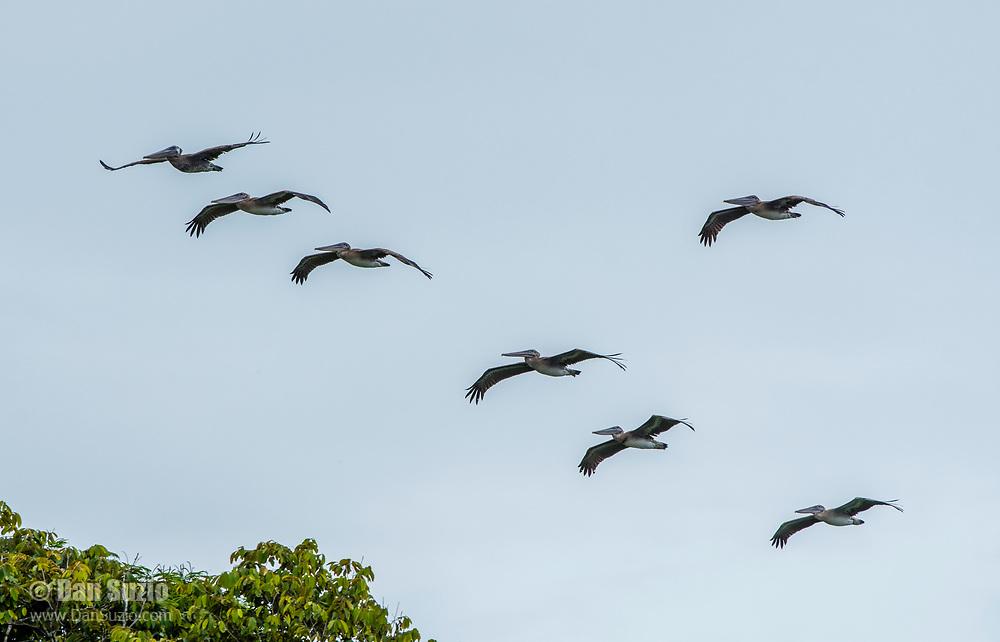 Brown Pelicans, Pelecanus occidentalis, flying over the Suerte River (Rio La Suerte), Limon Province, Costa Rica