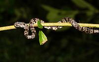 Cloudy Snail-eating Snake, Sibon nebulatus, at Tirimbina Biological Reserve, Costa Rica