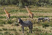 Kenya, region de Nakuru, parc national de Hell's Gate, zebre et girafe // Kenya, Nakuru county, Hell's Gate National Park, zebra and giraffe