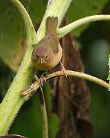 Common Yellowthroat. Image taken with a Fuji X-T4 camera and 100-400 mm OIS lens.