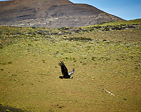 Andean Condor along the road while traveling from Estancia Lazo to Hosteria Lago Grey. Torres del Paine National Park, Chile. Image taken with a Nikon D3s camera and 70-300 mm VR lens (ISO 200, 300 mm, f/7.1, 1/320 sec).