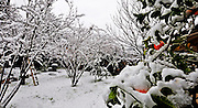 Snowscape in orchard