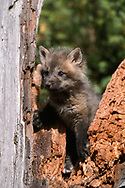 Red fox kit, 6 weeks old, climbing on stump, [captive, controlled conditions} © David A. Ponton