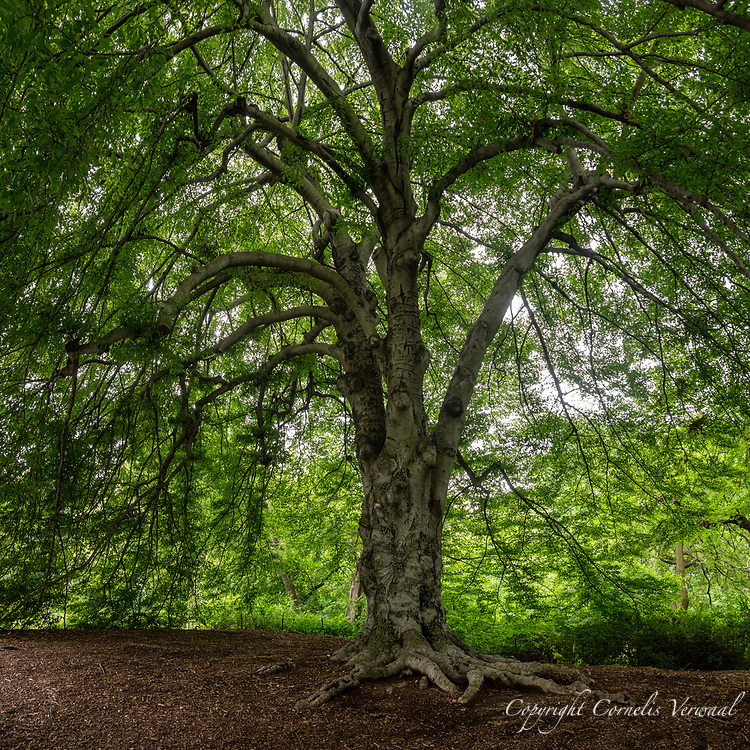 A majestic European Cutleaf Beech tree on Cherry Hill in Central Park