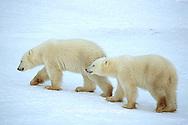 01874-10307 Polar Bear (Ursus maritimus) cubs walking on frozen pond, Churchill MB