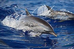 Pantropical Spotted Dolphins, Stenella attenuata, wake-riding, off Kona Coast, Big Island, Hawaii, Pacific Ocean