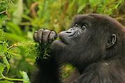 Female mountain gorilla (Gorilla beringei beringei) in the foliage. Photographed at Volcanoes National Park (Parc National des Volcans), Rwanda
