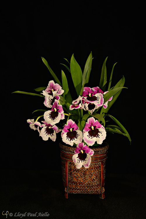 Miltoniopsis orchid grown and bloomed by the photographer.  Miltoniopsis is a genus of orchids that consists of 6 species, native to Costa Rica, Panama, Venezuela, Ecuador, and Colombia. They grow in locations that range from hot, humid lowlands  to relatively cool, humid cloud forests. They were named after Lord Fitzwilliam Milton, an English orchid enthusiast.