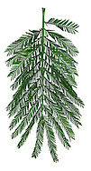 Mimosa Acacia dealbata (Fabaceae) HEIGHT to 30m <br /> Medium-sized tree. Twigs, shoots and foliage are covered by silvery-white hairs. BARK Smooth, greenish-grey; blackens with age. BRANCHES Upright. LEAVES Fern-like tripinnate leaves; leaflets, to 5mm long. REPRODUCTIVE PARTS Tiny yellow flowers, in small globular heads of 30-40 flowers, on long racemes of 20–30 heads. Pods flattened, to 10cm long; not constricted between seeds. STATUS AND DISTRIBUTION Native of Australia, grown here for ornament.
