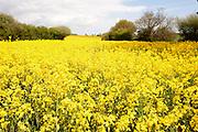 Farmland Landscape, Kent, UK, Rapeseed (Brassica napus), also known as rape, oilseed rape, rapa, rappi, rapaseed, yellow,