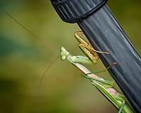 Praying Mantis. Image taken with a Nikon 1 V3 camera and 70-300 mm VR lens.