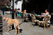 Dog waits outside a cafe in Kensington. In a selected few boroughs of West London, wealth has changed over the last couple of decades. Traditionally wealthy parts of town, have developed into new affluent playgrounds of the super rich. With influxes of foreign money in particular from the Middle-East. The UK capital is home to more multimillionaires than any other city in the world according to recent figures. Boasting a staggering 4,224 'ultra-high net worth' residents - people with a net worth of more than $30million, or £19.2million.. London, England, UK.
