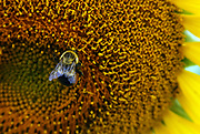 A bumblebee lands on the center of a blooming sunflower at Pope Farms Conservancy in Madison, WI on August 11, 2015.