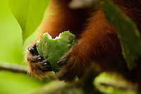 Dusky Titi Monkey (Callicebus discolor) feeding on a fruit at the Tiputini Biodiversity Station, Orellana Province, Ecuador. This is a subadult male named Bean.