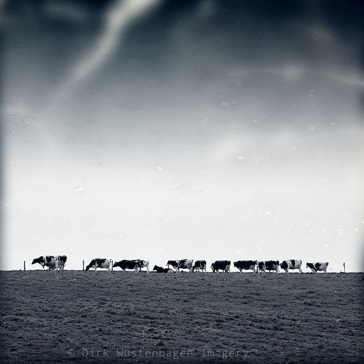 A herd of cows lining up on a meadow