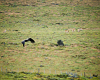Andean Condor in flight while traveling from Estancia Lazo to Hosteria Lago Grey. Torres del Paine National Park, Chile. Image taken with a Nikon D3s camera and 70-300 mm VR lens (ISO 200, 300 mm, f/8, 1/320 sec).