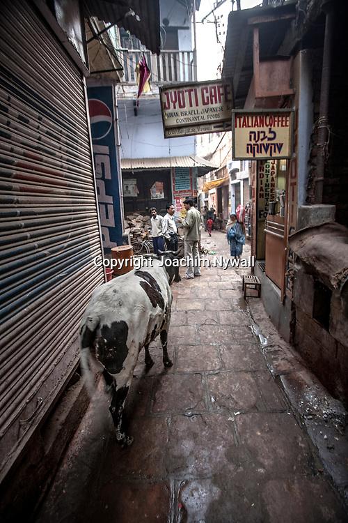 2007 02 04 Varanasi India<br /> Helig ko i en av gränderna i gamla stan i Varanasi<br /> ----<br /> FOTO : JOACHIM NYWALL KOD 0708840825_1<br /> COPYRIGHT JOACHIM NYWALL<br /> <br /> ***BETALBILD***<br /> Redovisas till <br /> NYWALL MEDIA AB<br /> Strandgatan 30<br /> 461 31 Trollhättan<br /> Prislista enl BLF , om inget annat avtalas.